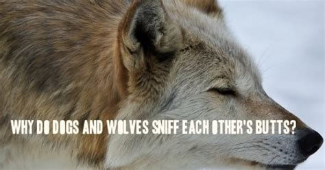why do dogs each other white wolf why do dogs and wolves sniff each other s