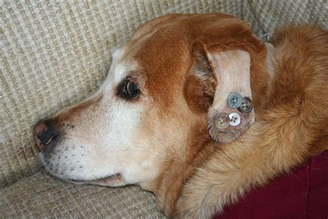 dogs with ears pierced united states of motherhood and we shall call him buttons piercings and other news