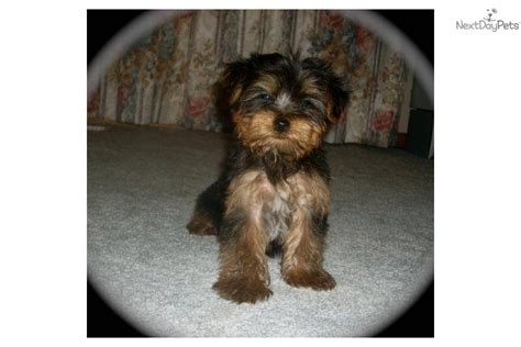 yorkie puppies price meet a terrier yorkie puppy for sale for 400 reduced price yorkie