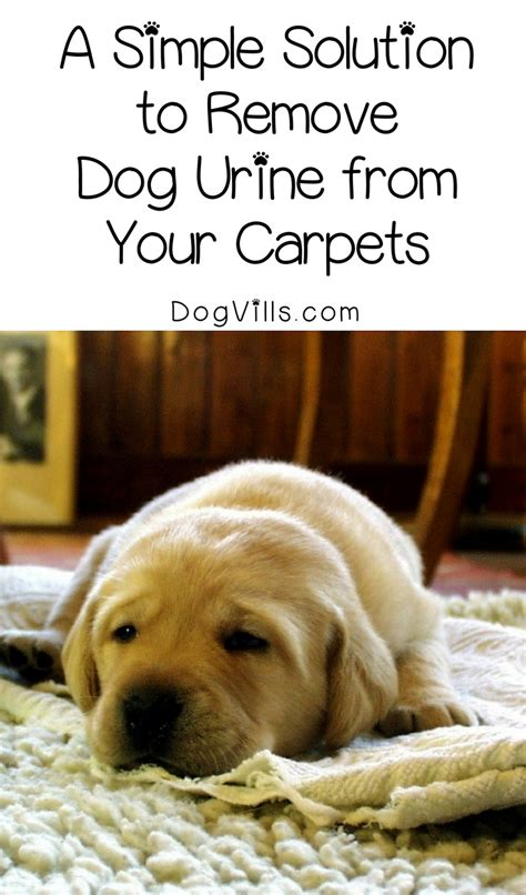 how to get rid of smell in carpet 4 foolproof steps to get rid of urine smell in carpets dogvills