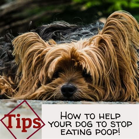 can yorkies eat how to help your to stop tips yorkie posh yorkie