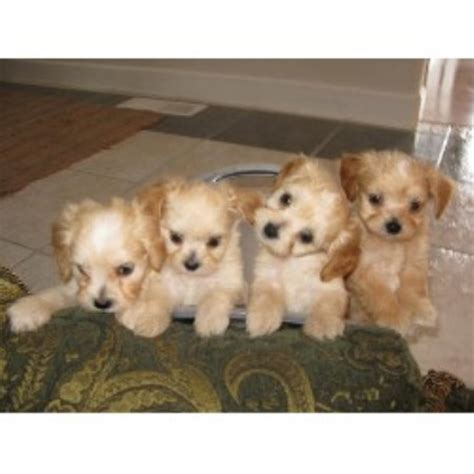 how much do yorkie poos cost yorkie poo utah breeds picture