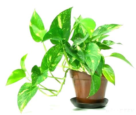 indoor plant images with names pictures of indoor plants and their names