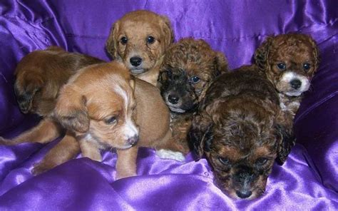 goldendoodle puppies for sale rochester ny goldendoodle mini new york www proteckmachinery