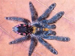 tarantula pictures colorful new species discovered