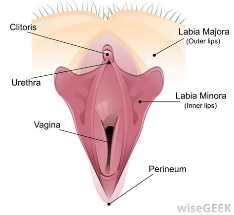 diagram of a vagiana what is a dilator with pictures