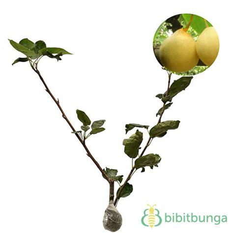 Harga Bibit Sirsak Madu harga tanaman buah dalam pot non tabulot lengkap