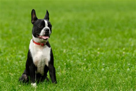 cheap boston terrier puppies for sale boston terriers for sale and adoption sharda bakers world