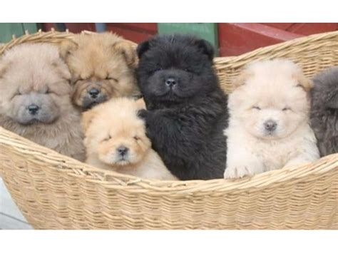 puppies for sale in amarillo charming males and females chow chow puppies for sale now animals amarillo