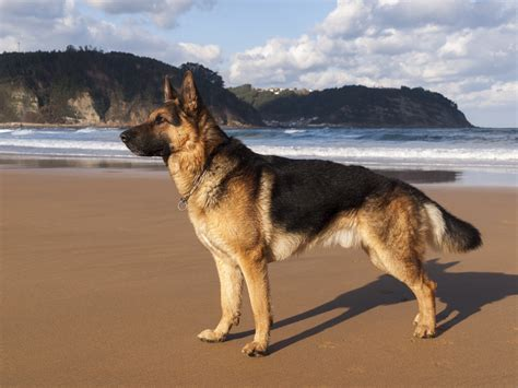 best food for german shepherds best food for german shepherds pet food society