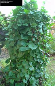 plantfiles pictures malabar spinach red vine spinach