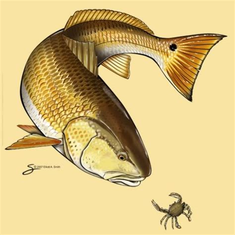 redfish tattoo images of redfish redfish graphics pictures images