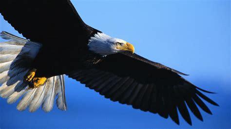 wallpaper black eagle eagles hd wallpapers