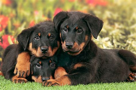 Dogs On by Beauceron Puppies Doglers