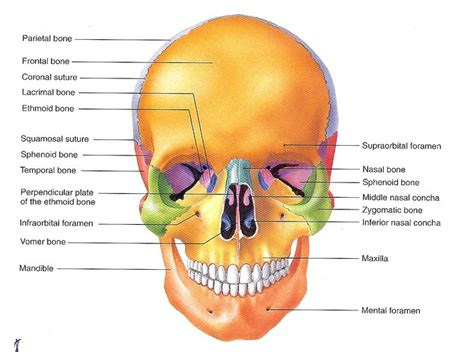 skull diagram labeled skull labeled a p skulls and human skull