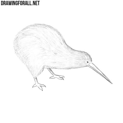 draw  kiwi bird drawingforallnet