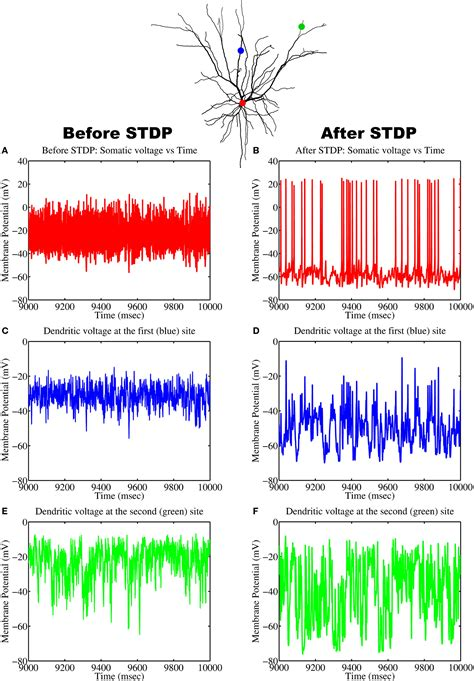 pigment pattern formation by contact dependent depolarization frontiers spike timing dependent plasticity as the