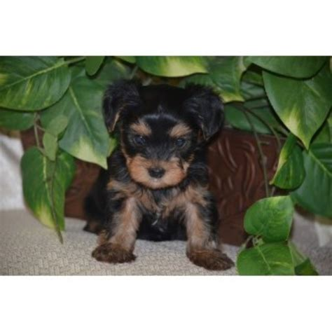 yorkie breeders in washington state yorkie puppy rescue in wa st breeds picture