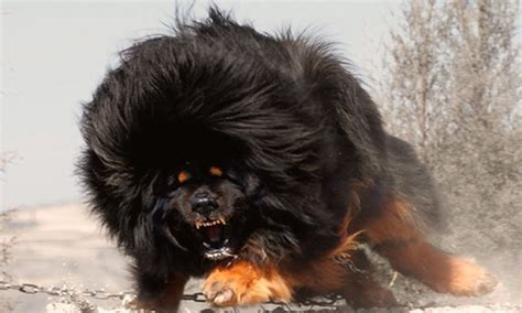 vicious dogs most vicious breeds in the world breeds puppies