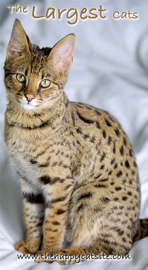 biggest house cat you can buy house cat you can buy 28 images would you buy a bengal cat for 3000 d rock society