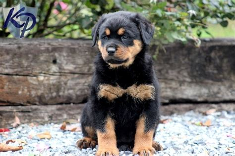 rottweilers for sale in pa 88 best images about rottweiler puppies on maybe someday rottweiler mix