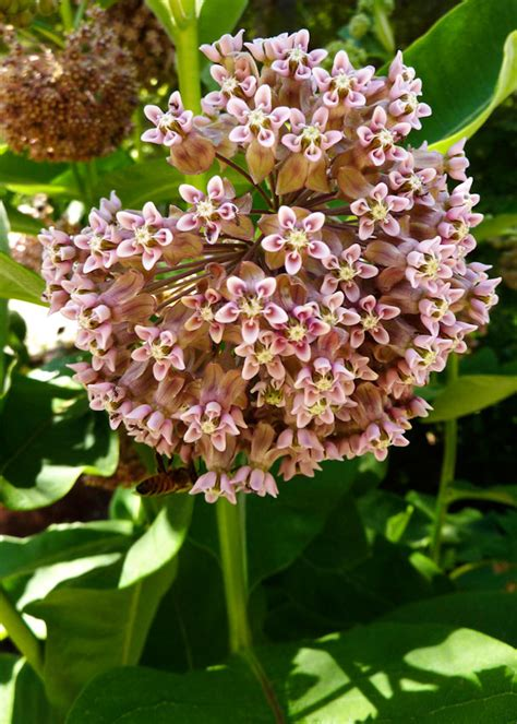 weeds you can eat milkweed buds gardenista
