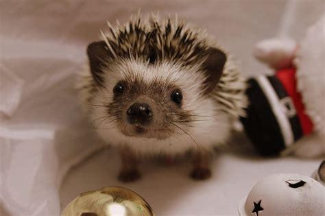 pygmy hedgehog karo the pygmy hedgehog gravesend kent pets4homes