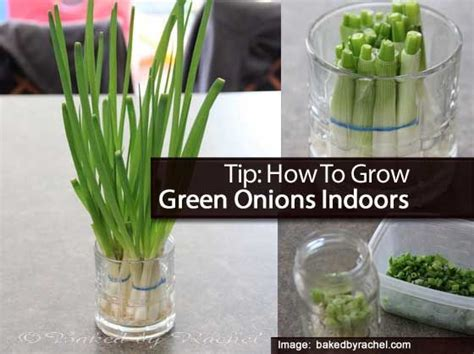 tip how to grow green onions indoors garden tips pinterest healthy meals couple and the