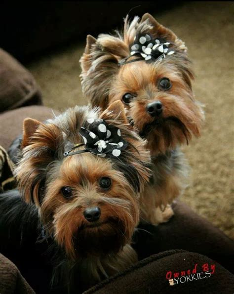 puppy bows yorkie 3156 best yorkies images on yorkies baby puppies and terriers