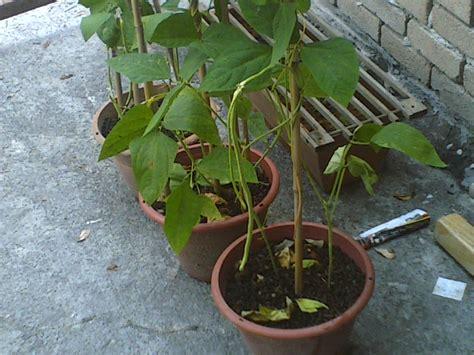 Benih Kacang Panjang Bola Dunia cara menanam kacang panjang info tanaman lengkap