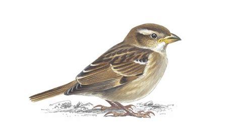 the rspb house sparrow