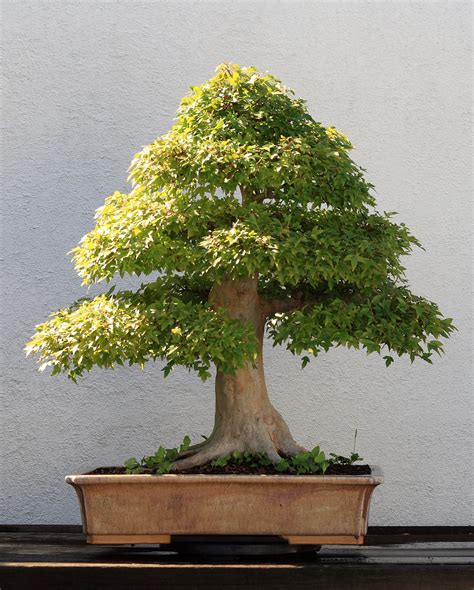 bonzi tree bonsai cultivation and care wikipedia
