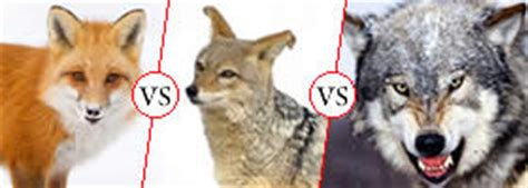 difference between wolf and zoology