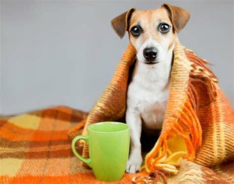 can dogs catch the flu from humans what you need to about flu springs ga