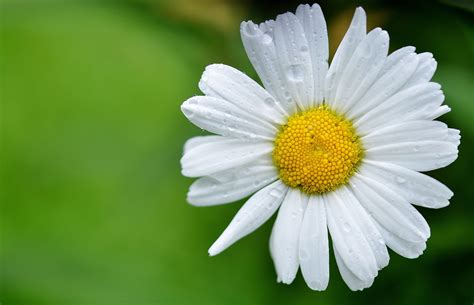 wallpaper bunga daisy daisy wallpapers images photos pictures backgrounds