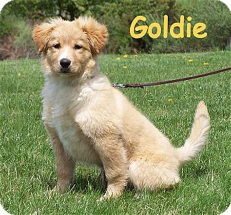 scotia duck tolling retriever golden retriever mix goldie adopted puppy milford nj australian shepherd scotia duck tolling