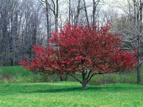 how to plant ornamental trees hgtv