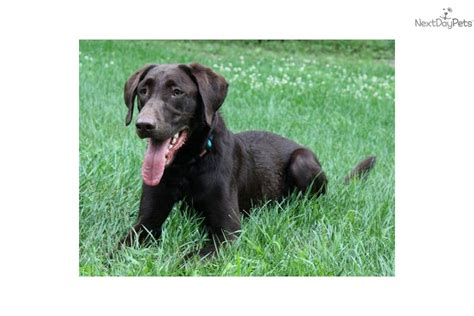 chocolate lab puppies craigslist chocolate lab puppy for sale in minneapolis breeds