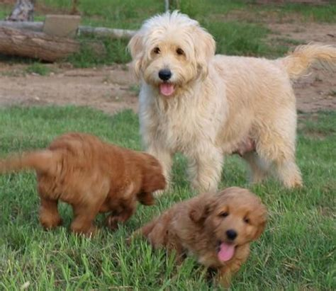 golden retriever x groodles golden retriever x poodle dogs
