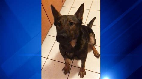 tsa puppies missing bomb sniffing tsa found in crestwood abc7chicago
