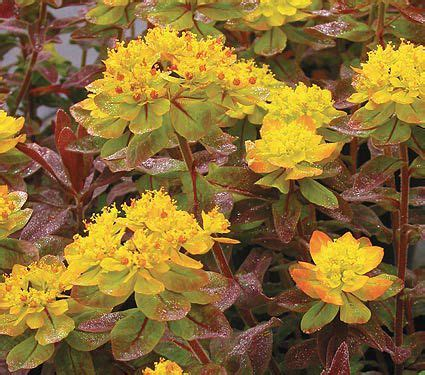 euphorbia polychroma bonfire white flower farm