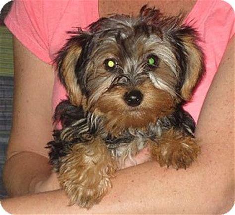 yorkies in ct westport ct yorkie terrier meet ingrid a puppy for adoption