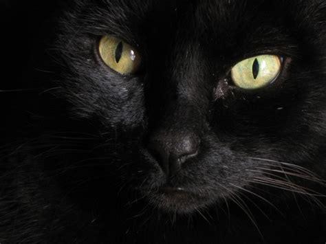 imágenes gato negro descubre el car 225 cter del gato negro