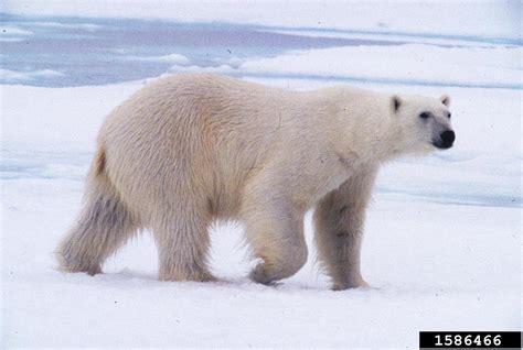 polar bear polar bear polar bear ursus maritimus natureworks