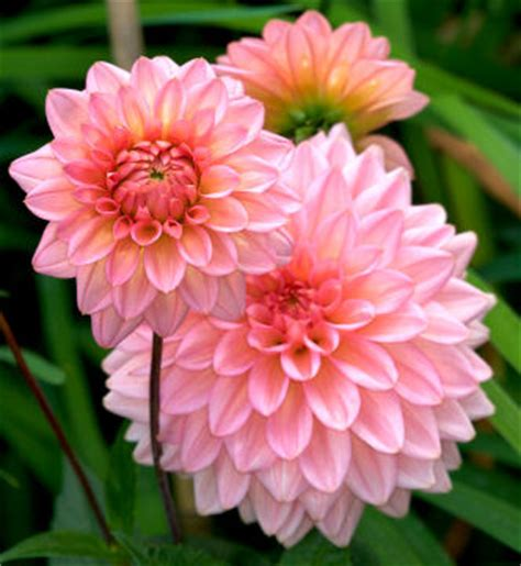grower direct flower varieties dahlia