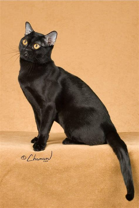 inidia cat 25 17 best images about cross bred cat breeds on