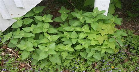put away the deet and grow catnip to repel mosquitoes naturally