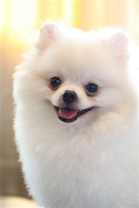 pomeranian accessories white pomeranian click to shop accessories for pomeranians pomeranian