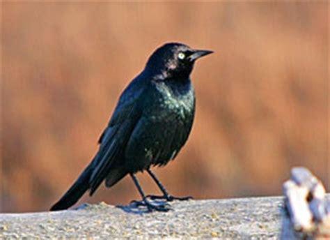 black birds  orioles birds  colorado