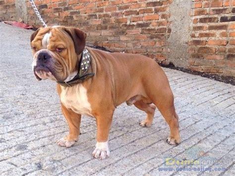 Jual Kandang Pagar Anjing Surabaya dunia anjing jual anjing bulldog dijual murah dewasa